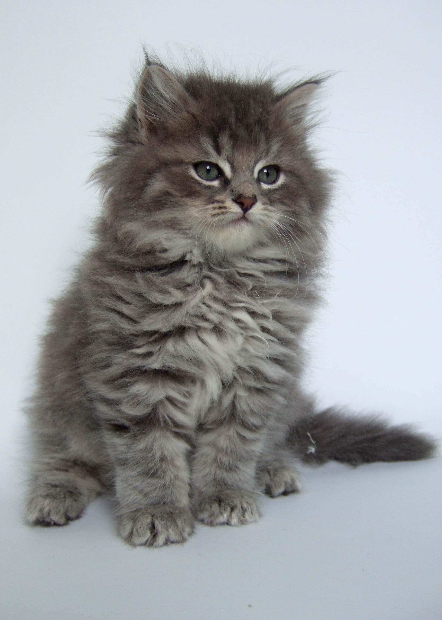 Silver Siberian Cat Names