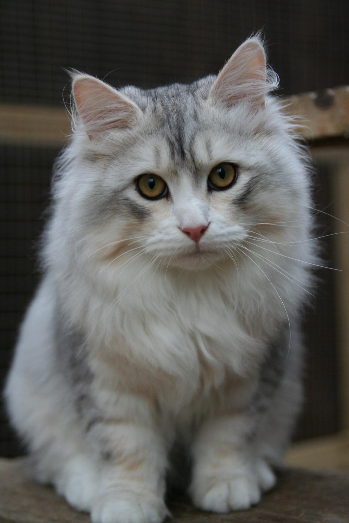 Russian Blue Cat Breeders Phoenix